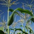 Kukuřice cukrová - klas